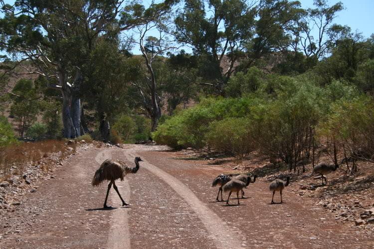 Emu5.jpg