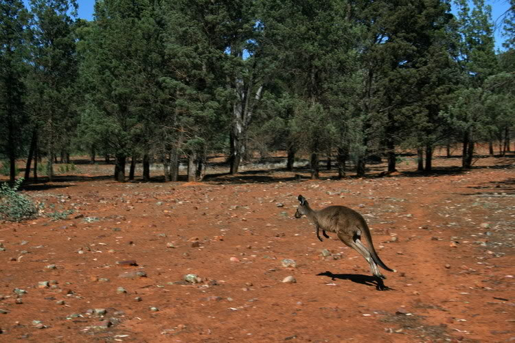 Kanguru2.jpg