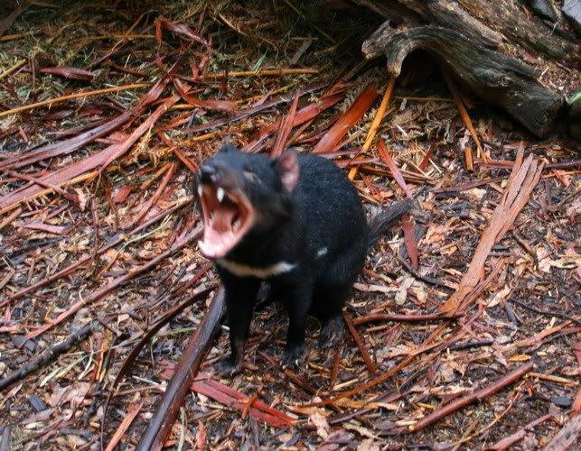 tasmanyacanavari.jpg